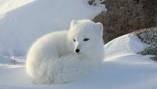 Rubah artik / arctic fox