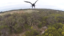Bird Exposes The Limits Of A Light Drone As Eagle Terminate One Flight