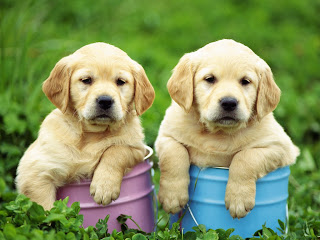 Labrador Retrievers puppies image