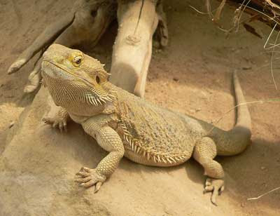 Lizard Picture and Facts on Lizards