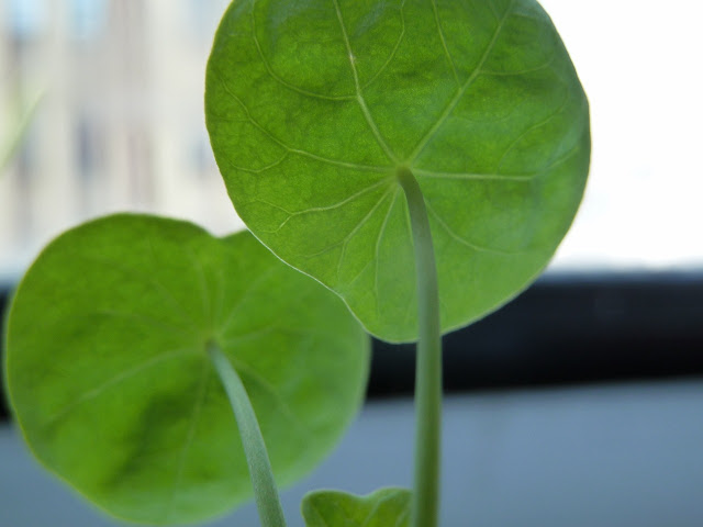 Nasturtium seedling, Brooklyn