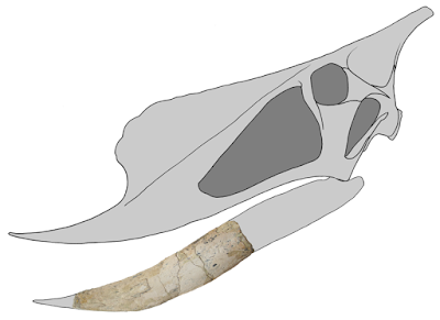 Banguela skull