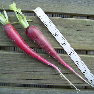 Raphanus sativus 'Ostergruss Rosa' German radish for serious foodies, veg growers and gardeners!