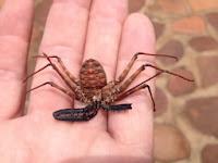 racer, insecten in het Krugerpark
