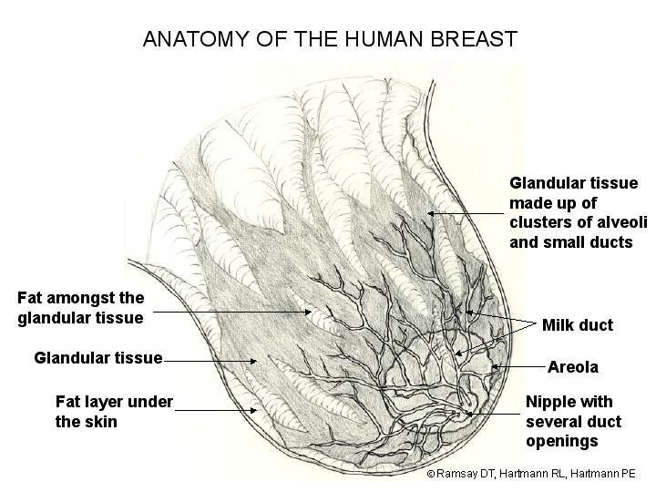 BIRTH & BEYOND: Anatomy of the Breast & How Breastmilk is Produced