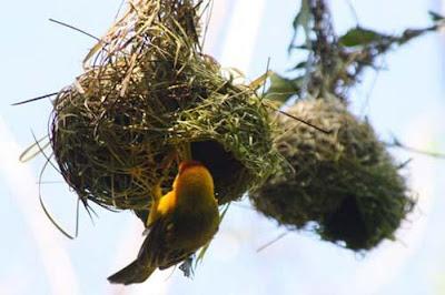 kuş yuvası