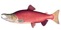 Crveni losos sa Aljaske
