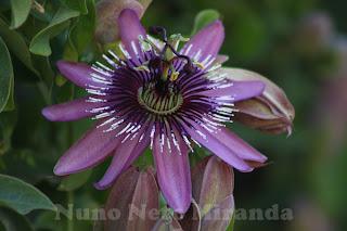 "alt=""passiflora, passion flower, flor maracujá"""