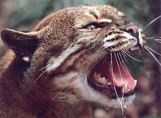 scary_wildcat-8962.jpg