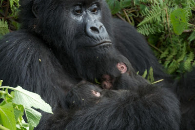 Gorilla safaris, tracking, hiking, trekking rwanda