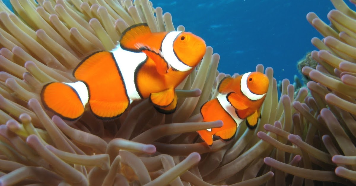 Nemo fish coloring pages realistic coloring pages for P o fish