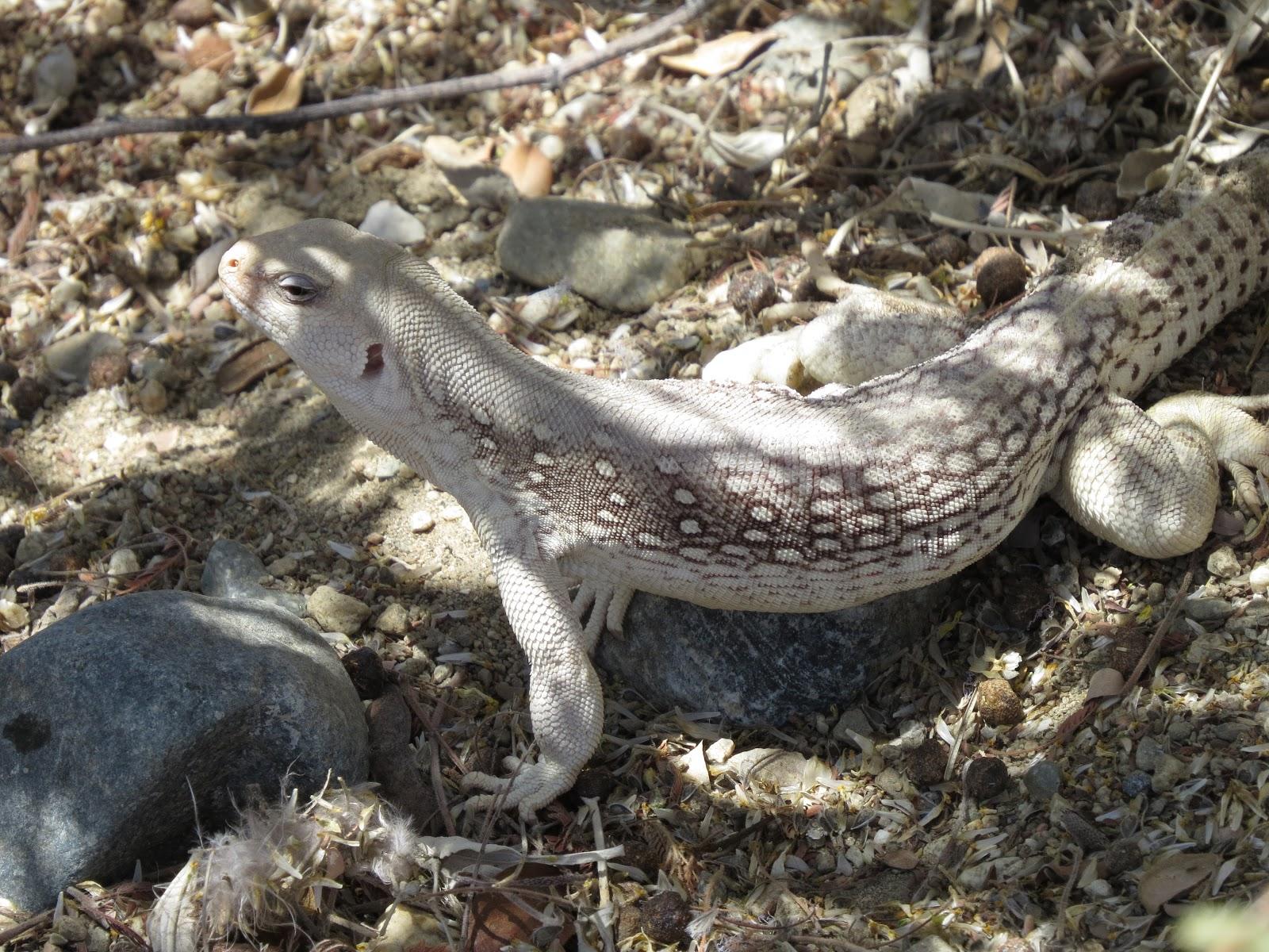 The Living Desert desert iguana