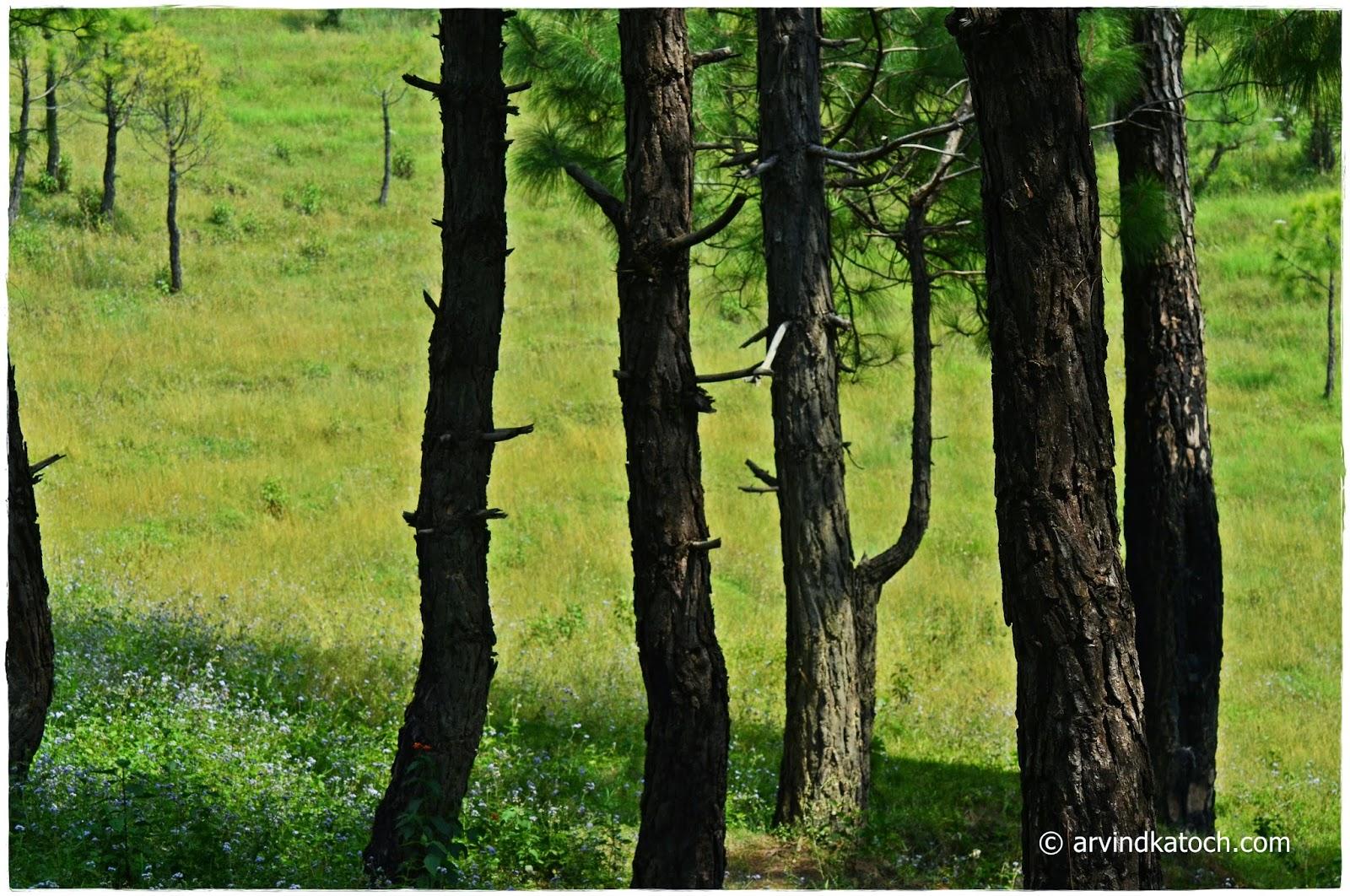Chir Pine, Pine Tree, Talking Tree, Himachal Pradesh
