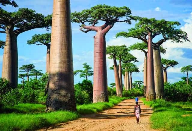 Avenida dos Baobás - Morondava, Madagascar