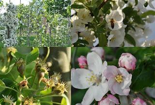 Den blomstrende frugthave og bestøvning af blomster