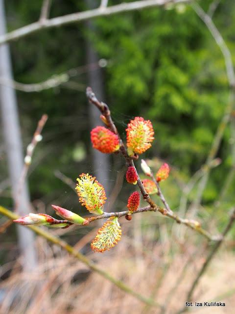 wierzba , orawa , wiosna , kwiaty