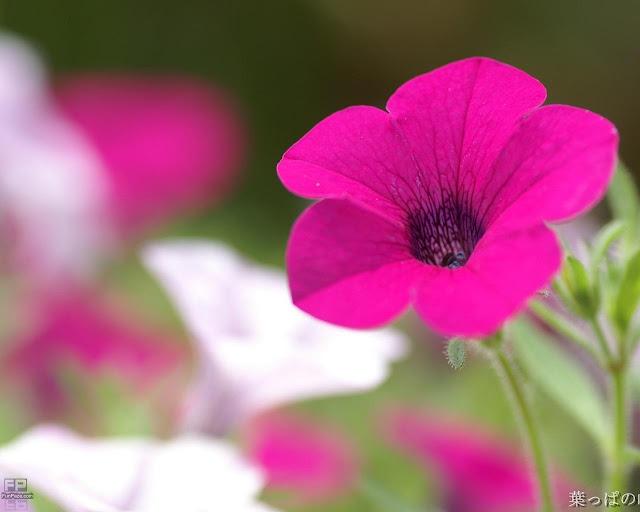 Flowers HD Desktop Wallpaper -15