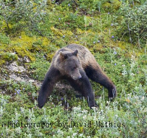 Silver back back bear