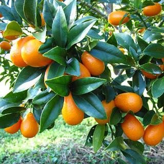 bibit-jeruk-nagami.jpg