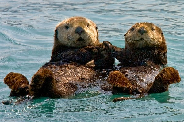 Two otters floating in the oceans, holding paws so they don't float away from each other.