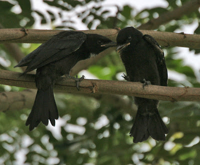 wallpapers of bird black drongo information