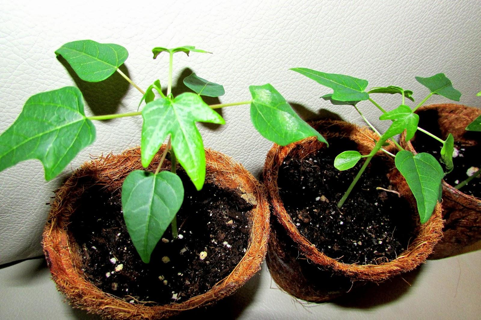 Папайя выращивание в домашних условиях из семян, посадка и уход 23