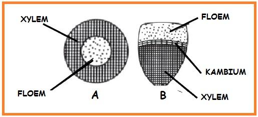 Berkas pengangkut yang ditunjukkan oleh gambar A dan B adalah ....