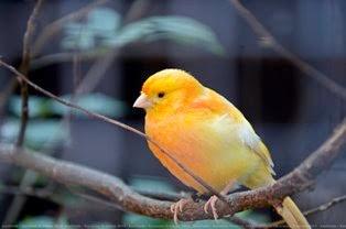 Suara Burung Kenari Terbaik