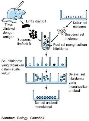 Proses pembuatan antibodi monoklonal rekayasa genetika