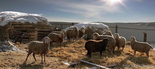 Породи овець для домашнього розведення - Наша ферма