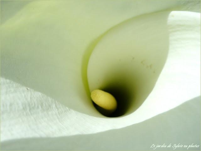 arum blanc