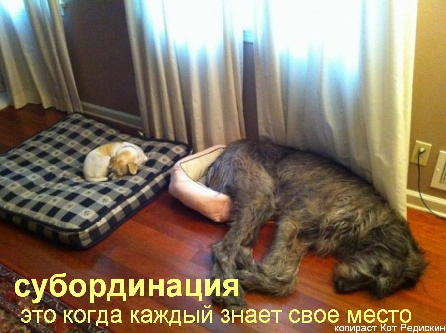 Две собаки маленькая и большая: Субординация - это когда каждый знает свое место