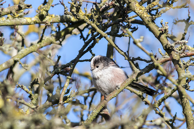 Long-tailed Tit flitting through the trees.
