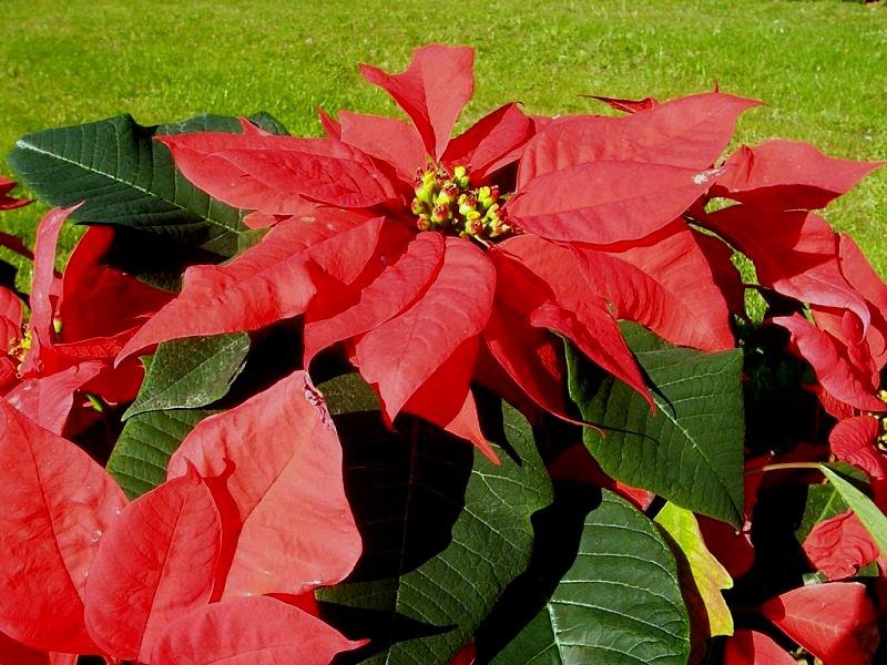 Stella Di Natale Foglie Gialle.Il Mondo In Un Giardino Come Far Durare La Stella Di Natale