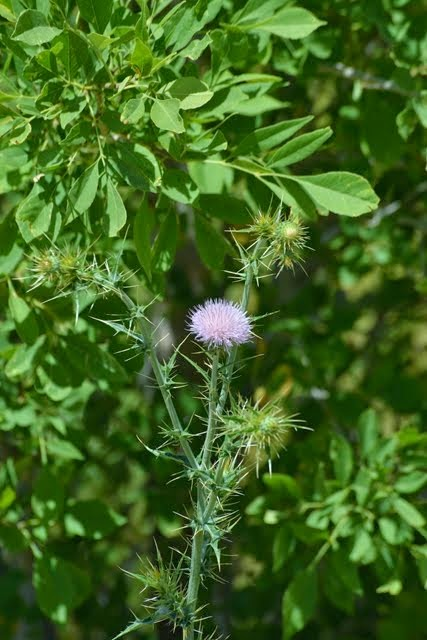 Mohave Thistle, Cirsium mohavense_7179