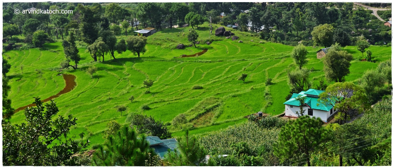 rice fields, himachal pradesh