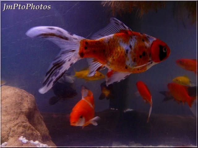 Jmptophotos poissons rouges shubunkin et com te for Poisson comete bassin