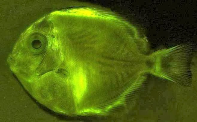 glowing fish