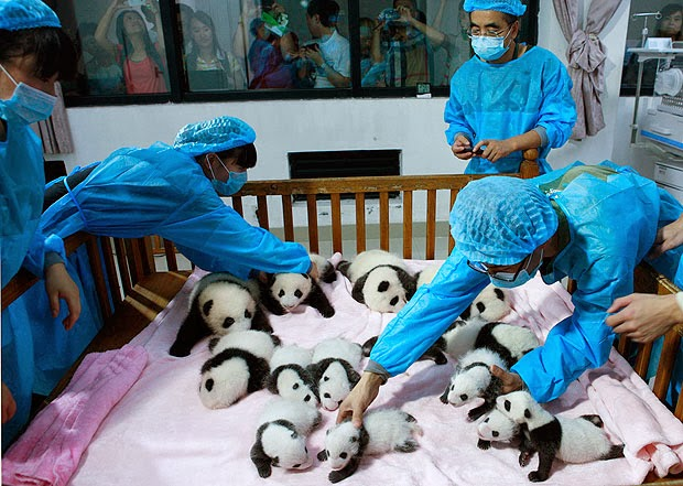 Newborn Panda Cubs Shown to Public in China