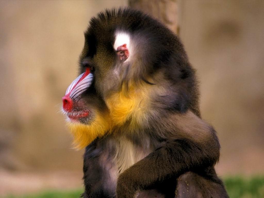 http://4.bp.blogspot.com/-T2NvStZQCvA/T-6QyeKirXI/AAAAAAAACn8/5S1ntukkLlI/s1600/Monkey+looking+Something+1024x768.jpg