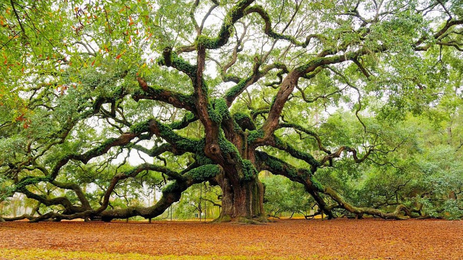 Angel Oak - Simpeltek.blogspot.com