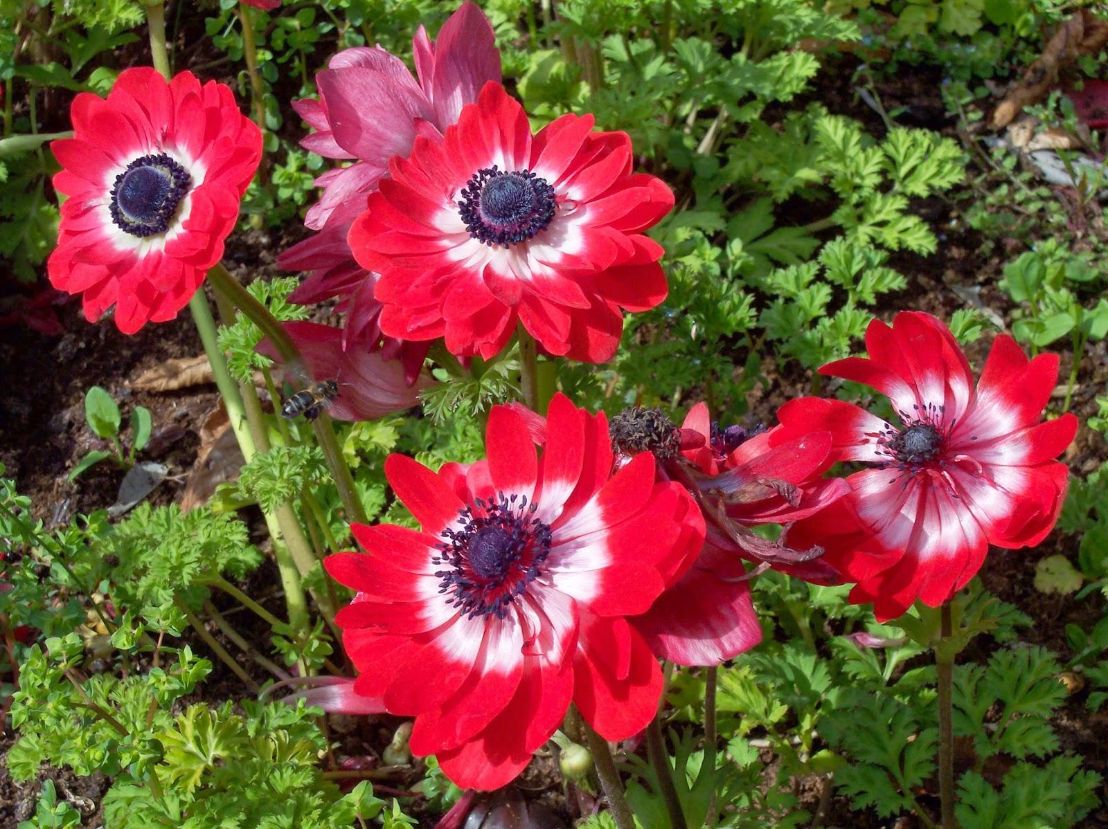 Kết quả hình ảnh cho hoa chân ngỗng