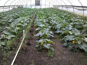 Greenhouse Squash