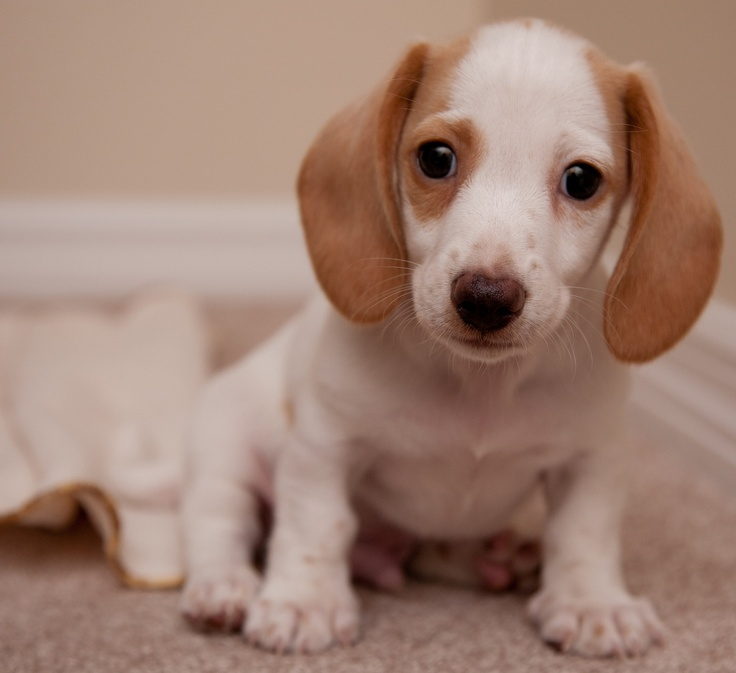 White Dachshund puppy