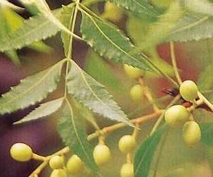 Obat Tekanan Darah Tinggi (Hipertensi) Secara Herbal Alami