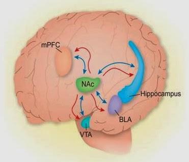 Do drugs sex competition and meditation use the same pleasure nac nucleus accumbens bla amygdala vta ventral tegmental area mpfc medial prefrontal cortex ccuart Images