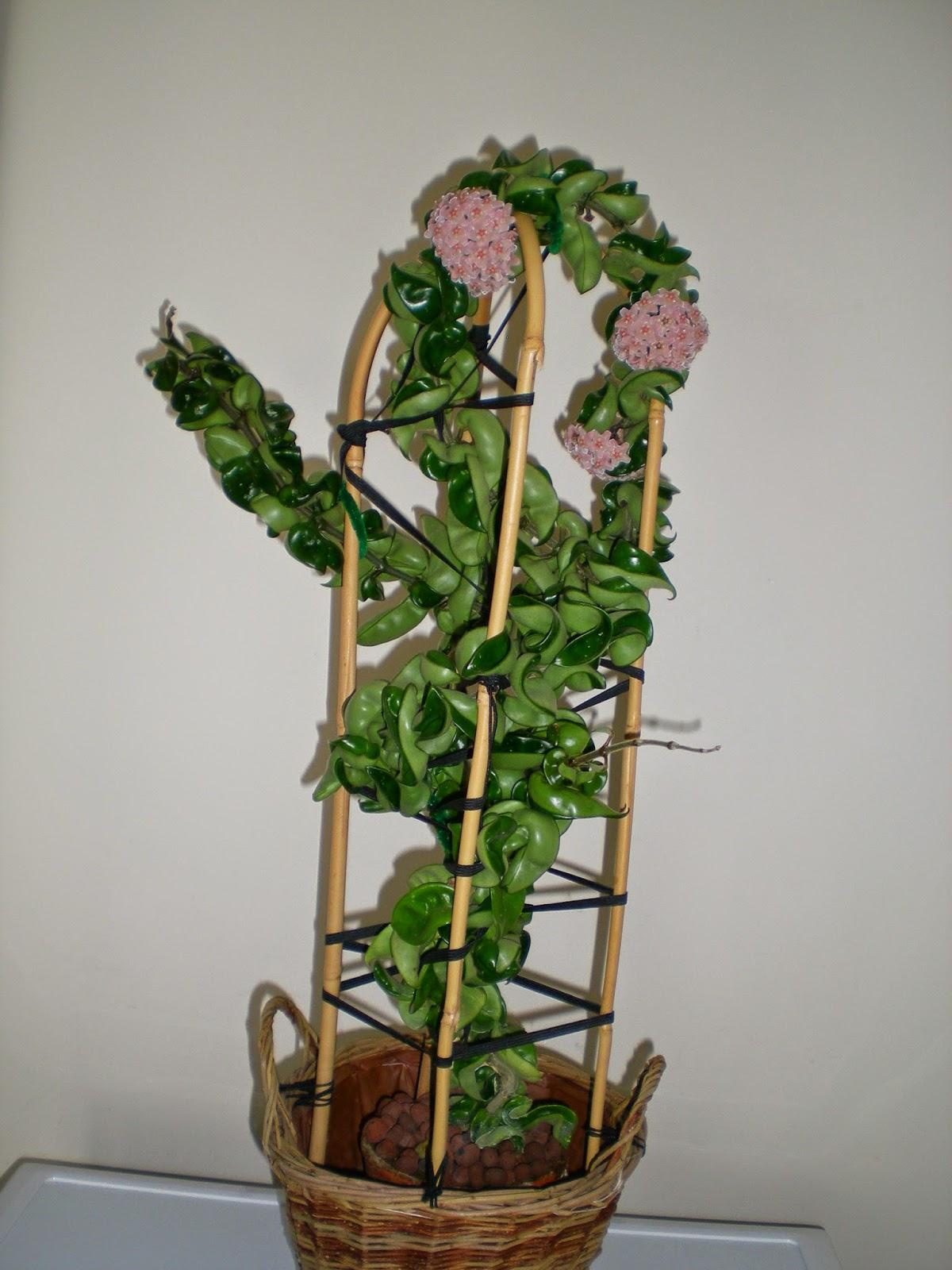 plante grimpante interieur elegant screenpot with plante grimpante interieur trendy am dans. Black Bedroom Furniture Sets. Home Design Ideas
