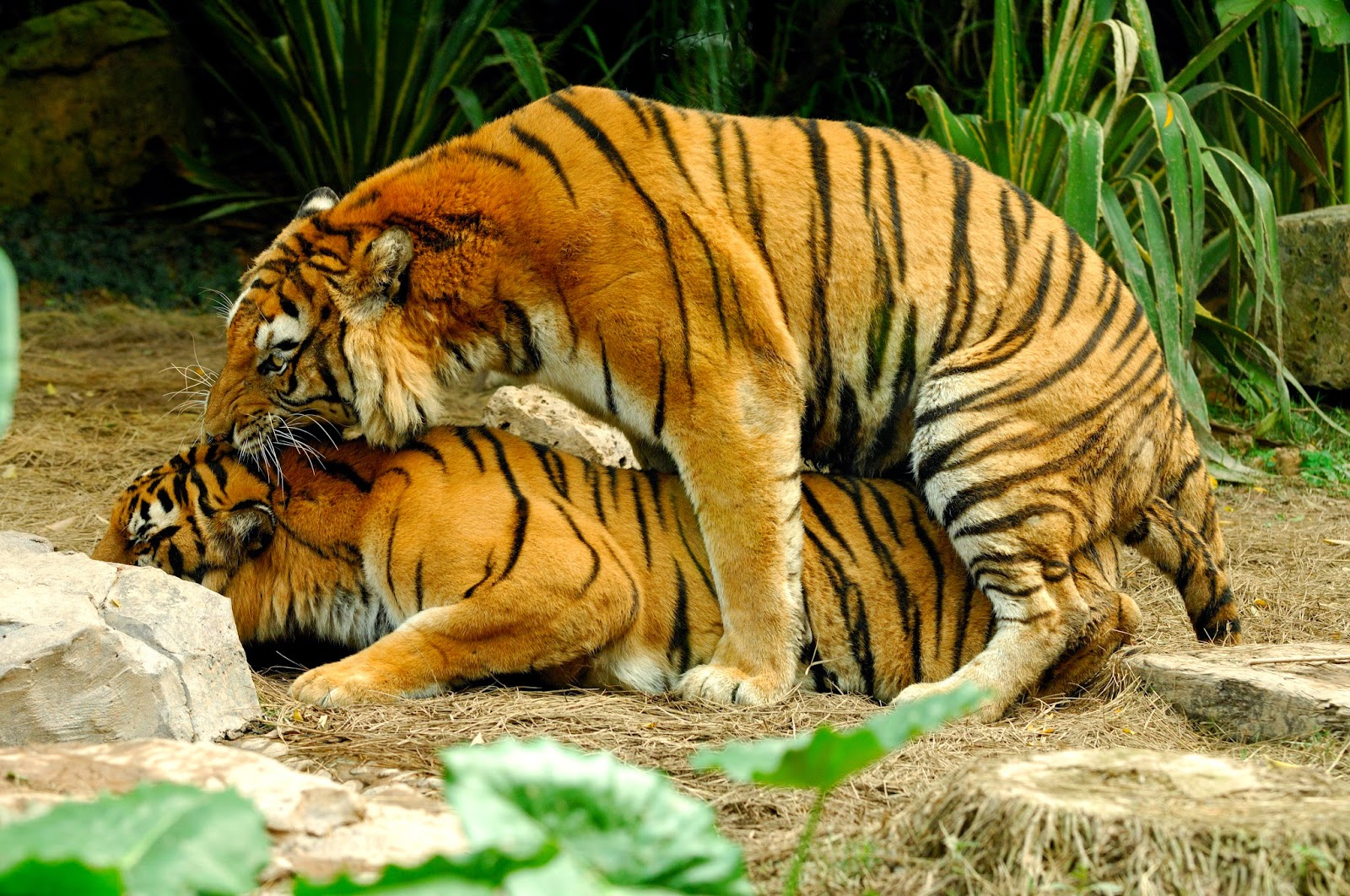 Bengal Tiger images and facts