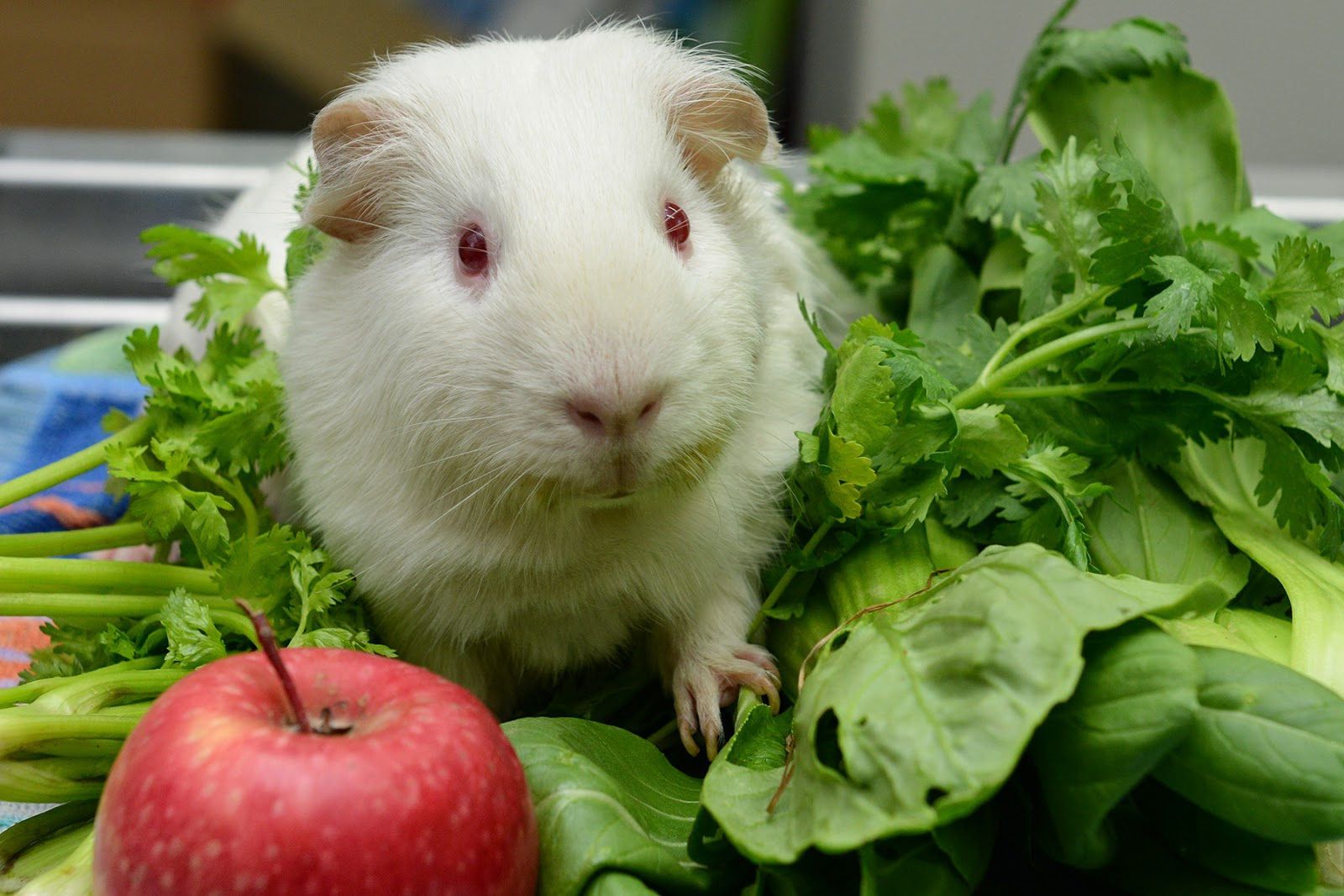 guinea pig vegetables cavy diet