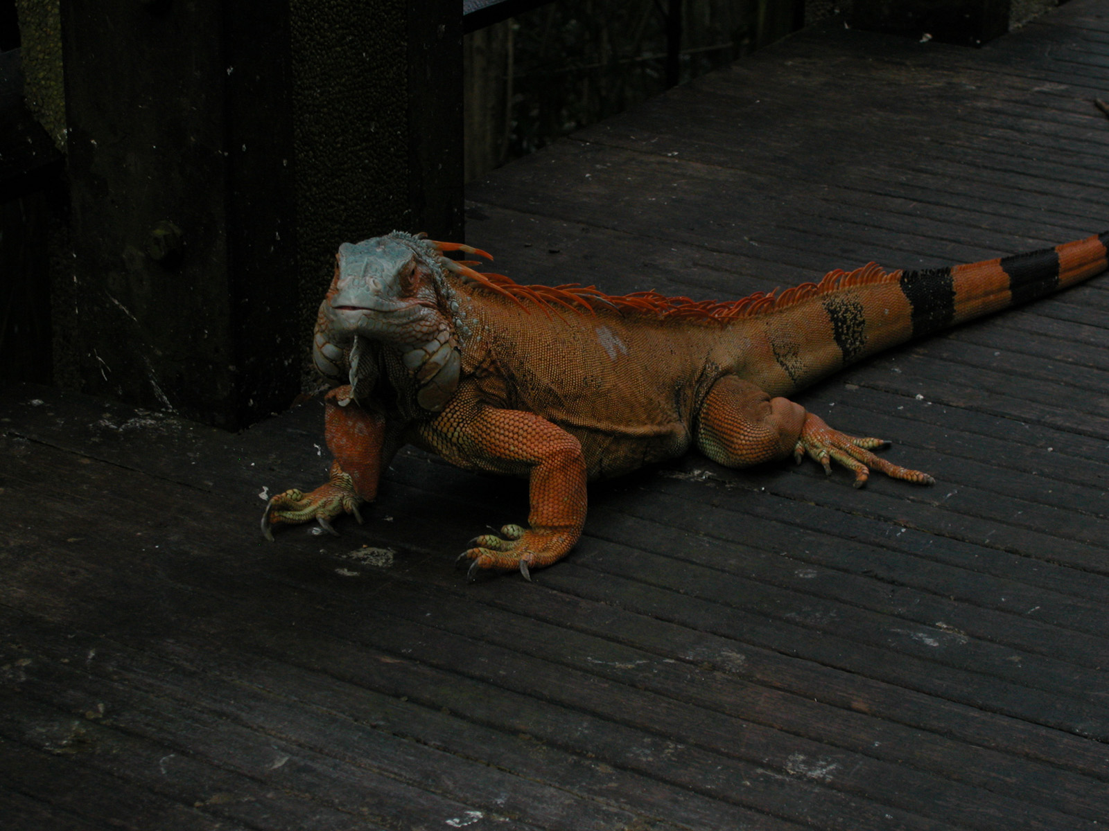 http://4.bp.blogspot.com/-T3UYy35DSPI/T-bpivbz46I/AAAAAAAACvA/imzBgAniA-A/s1600/iguana+images.jpeg